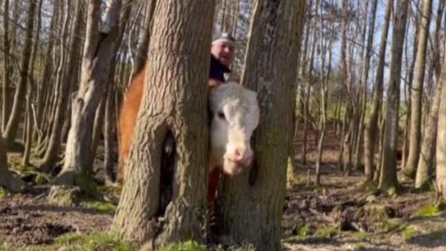 ABD'de kafasını ağaca sıkıştıran dana kurtarıldı