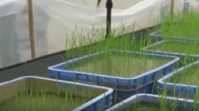 Ay'dan Çin'e getirilen çeltik tohumları filizlendi