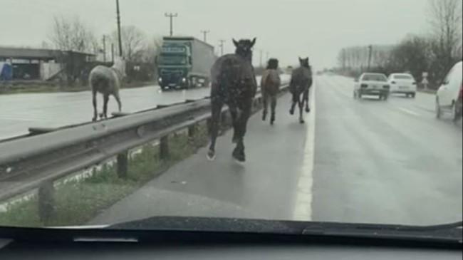 Sakarya'da çiftlikten kaçan atlar, karayolunda dört nala koşturdu