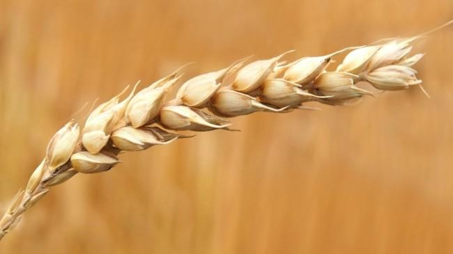 Tahıl ürünleri iç pazar talebinin yüzde 87,8'ini karşılıyor
